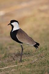 Lapwing (Oren Magori Cohen) Tags: wild bird nature canon israel wildlife sigma lapwing birdwatching afs lakebirds 60d 150500mm