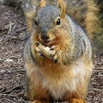 Squirrel at the University of Michigan in Winter (March 26, 2013) thumbnail