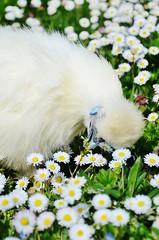 Spring Chicken (Tinina67) Tags: chicken silkie seidenhuhn daisy gänseblümchen wiese season fruhling tag meadow garten garden farm tina tinina67 huhn spring white france gers au marron