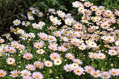 Marguerite (ddsnet) Tags: plant flower lens sony hsinchu taiwan 99 daisy marguerite     slt        eighteenpeaksmountain  single singlelenstranslucent 99v translucent
