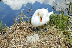 Swans nest (will668) Tags: white nature water river swan pond nest birth eggs nesting hatching parkland countrypark englishheritage cygnus wrestpark swansnest parkestate swaneggs