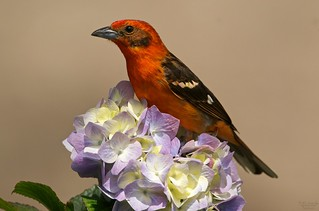 Flame coloured tanager, male