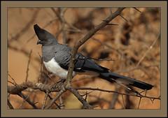 White-bellied Go-away-bird (Corythaixoides leucogaster) (Rainbirder) Tags: kenya ngc npc whitebelliedgoawaybird corythaixoidesleucogaster tsavowest naturesharmony rainbirder