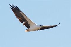 A glide along the beach (Geoff Main) Tags: bird eagle australia nsw birdofprey birdinflight nswsouthcoast whitebelliedseaeagle pedropoint canonef100400f4556lisusm canon7d moruyaheads