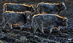 Maremma maiala... (sermatimati) Tags: parco nikon tramonto toscana pioggia sera maremma mucche fango vitelli allevamento sermatimati