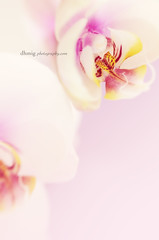 Pastel (dhmig) Tags: pink italy orchid flower macro nature beauty closeup petals nikon dof feminine details softness naturallight innocence sensuality freshness purity femininity romanticism 50mmf28 fragility pastelcolors softcolours softcolor nikond7000 dhmig dhmigphotography