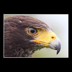 Angry Bird (part II) (KoenK68) Tags: bird animal birdofprey harrishawk parabuteounicinctus duskyhawk koenk68