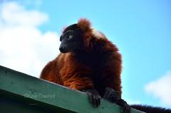 Lemur (Karen_Crawford) Tags: cute beautiful animal furry nikon stirling safari lemur blairdrummond streamzoo