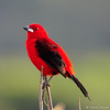 Tiê Sangue macho (Brazilian Tanager male) (Carlos Incote) Tags: ngc npc avianexcellence allofnatureswildlifelevel1