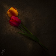 Ligh Painting (CarloTerenzi) Tags: flowers lightpainting color nature fiori tulipani carloterenzi