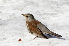 Fieldfare in the snow: the spring is (almost) here (Sergei Golyshev) Tags: city snow bird campus spring university state feeding russia moscow birding msu thrush territory turdus fieldfare   pilaris telephot