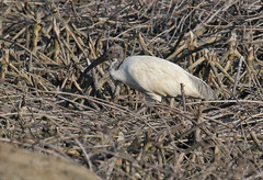 Th13_05312a (jerryoldenettel) Tags: bird thailand ibis whiteibis blackheadedibis threskiornismelanocephalus pelecaniformes threskiornis orientalwhiteibis threskiornithidae 2013 bangtaboon bangtaboonmarshes