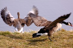 Geese - RSPB Fowlmere (Airwolfhound) Tags: geese goose fowlmere rspb