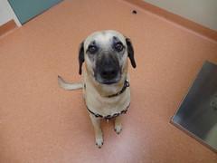 Punchkin (Rayya The Vet) Tags: dog vet canine twitter healthcheck whippetcross dingocross