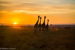 Kenya2006-2 (Dalo2013) Tags: africa travel sunset sunrise kenya wildlife safari masaimara