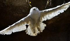 Snowy owl (floridapfe) Tags: animal zoo fly snowy korea owl everland snowyowl