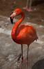 Flamingo (y_phog) Tags: bird japan canon flamingo yokohama kanagawa 横浜 野毛山動物園 フラミンゴ nogeyamazoo ef70200mmf4lisusm eos5dmarkii