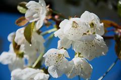 Flowers & Bees #7 (lorenzoviolone) Tags: life flowers trees plants sun plant flower macro tree nature beautiful cherry spring nice nikon bokeh bees bee environment d5200 nikond5200