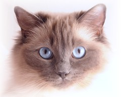 Ragdoll portrait (caz gordon,) Tags: pet beautiful animal cat nikon feline pretty calendar blueeyes kitty queen whitebackground stunning ragdoll chocolatebox birman bluepoint