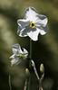 Narcissus POLAR ICE (J. Shejbal) Tags: narcissus polarice