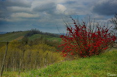 red Tiziano (Explore #441 19/04/2013) (Tiziano Photography) Tags: flowers red sky panorama primavera colors clouds landscape spring nuvole vineyards cielo fiori shrub rosso colori vigne arbusto