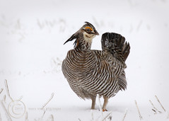 Orange Eye Brow (MAP41013_302) (maryanne.pfitz) Tags: winter bird nature wisconsin photo spring wildlife junctioncity lek greaterprairiechicken tympanuchuscupido portagecounty courtshipdisplay orangeeyebrows brownandwhitestripes maryannepfitzinger grasslandgrouse