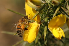 Honey Bee on Gorse (former-extog) Tags: honeybee wfc bridgend apismellifera aberkenfig tondu 2013 penybontarogwr unature welshflickrcymru bbcwalesnature parcslip bymikemccarthy canonef100mmf28lmacroisusm mikemccarthy