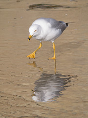 slowly I creep.... (inkista) Tags: reflection beach torreypines ringbilledgull larusdelawarensis lumixgvario45200mmf456ois