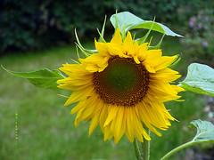 """Good Morning Everyone, Have a nice sunny Day !!"" (ljucsu) Tags: flower plant sunflower summerflower julyflower outdoor gardenflower"