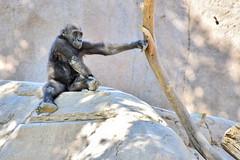 San Diego Safari Park baby Gorilla Joanne (GMLSKIS) Tags: sandiego safaripark california joanne gorilla nikond750