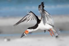 Incoming! (Melis J) Tags: bird blackskimmer florida shorebird skimmer rynchopsniger birdinflight birdwithprey birdwithfish