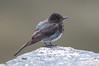 Black-ish (martytdx) Tags: sanfrancisco ca birds lifelist birding july phoebe sutrobaths immature blackphoebe cliffhouse flycatcher sayornis tyrannidae sayornisnigricans tyrantflycatcher