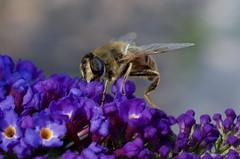 IMGP1679 (Fan Majie ) Tags: bugs janvanhoutkade leiden mimicry bee