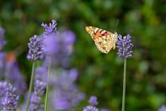 IMG_4910 (ElsSchepers) Tags: limburglavendel lavendelhoeve stokrooie kuringen hasselt natuur vlinders