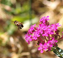 And he's off... (Kazooze) Tags: insect bee flowers garden nature outdoor sunshine morning sweetwilliamcatchfly pink macro sigma105mmmacrolens