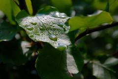 Bøgeblad med dråber (Mr.Borup) Tags: bøgeblad beechleaf blad leaf dråber drops water