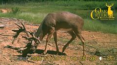 Giant non-typical whitetail buck (oakcreekhunt) Tags: whitetail whitetaildeer deer worldrecordwhitetail recordbookdeer hunting sci dsc missouri besttrophyhunting besttrophywhitetailhunts