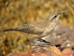 Getting ready to leave - House wren (Troglodytes aedon), Wickiup Reservoir, Oregon, Aug 2015 - In Explore 8/23/16 (Judith B. Gandy) Tags: wrens troglodytes reservoirs aves birds oregon housewrens troglodytesaedon wickiupdamandreservoir