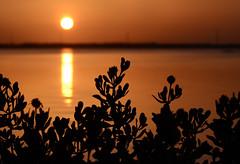 Sea oxeye daisy silhouetted by a fiery sunrise along the Indian River Lagoon. (Jill Bazeley) Tags: sea oxeye daisy native florida plant wildflower indian river lagoon intracoastal waterway brevard county nicol park silhouette sunrise nikon d7000 70300mm borrichia frutescens