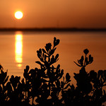 Sea oxeye daisy silhouetted by a fiery sunrise along the Indian River Lagoon. thumbnail