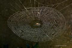 Het web  -  the web (DirkVandeVelde Back) Tags: europa europ europe antwerpen anvers antwerp animalia animal belgie belgium belgica belgique biologie buiten outdoor mechelen malines malinas araneusdiadematus web arthropoda arachnida araigne spider spin fauna