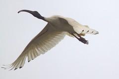 Flight (GS_Imagery) Tags: canon flight birds bird australia