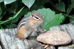 DSC_0670 (rachidH) Tags: chipmunk tamia easternchipmunk peanuts tamiastriatus tamiaray sparta nj newjersey nature rodents rachidh