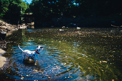 Struggle (Leo Hidalgo (@yompyz)) Tags: canon eos 6d dslr reflex yompyz ileohidalgo fotografía photography vsco galicia ézaro spain españa landscape pitia dog animal perro dalmatian dálmata rio river