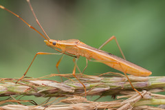 Alydidae. Leptocorisa sp. (David Ball.) Tags: hemiptera leptocorisa australia canon270ex alydidae