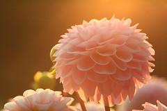 Softness (preze) Tags: dahlie dahlia rosa pink blume flower pflanze plant blossom blte flora petals light licht gegenlicht backlight zart soft sanft gentle dreamy bltenbltter bltenblatt canoneosm3