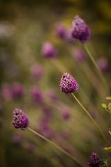 Loseley Park (tonybill) Tags: august flowers gardens loseleypark miscellaneous pentaxsupertakumar85mmf19 sonya7 sunshine surrey bokeh