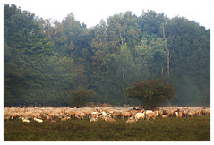 Sheep (na_photographs) Tags: trees schafe herde