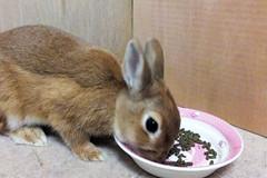 Ichigo san 294  (mensore) Tags: brown bunny cute family ichigo netherland dwarf netherlanddwarf pet rabbit