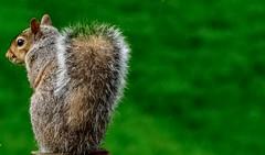 Watching him, watching me.... (tomk630) Tags: virginia squirrel close nature eyetoeye